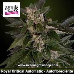 Royal Critical Automatic – Autofloreciente – Royal Queen