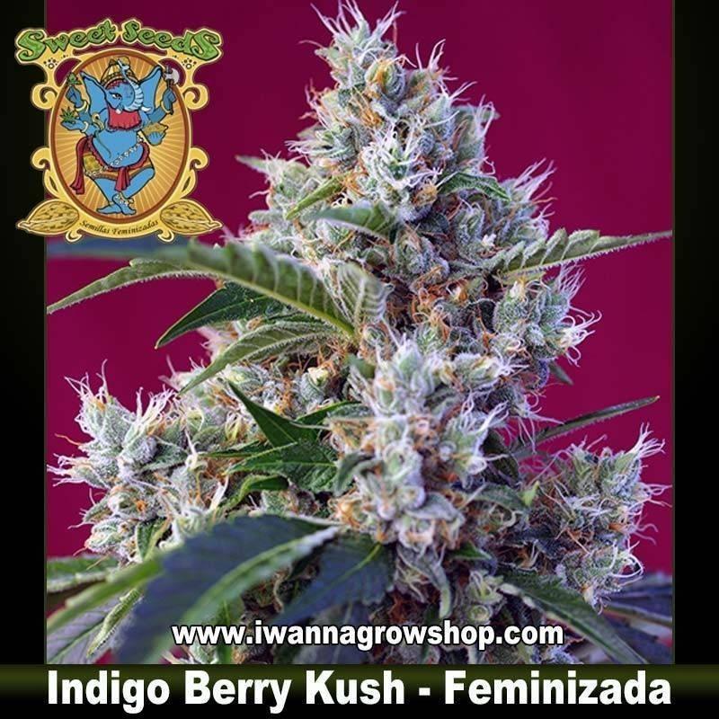 Indigo Berry Kush