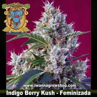 Indigo Berry Kush – Feminizada – Sweet Seeds