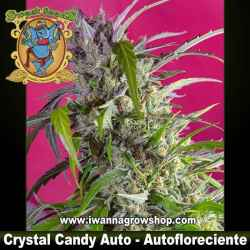 Crystal Candy Auto – Autofloreciente – Sweet Seeds