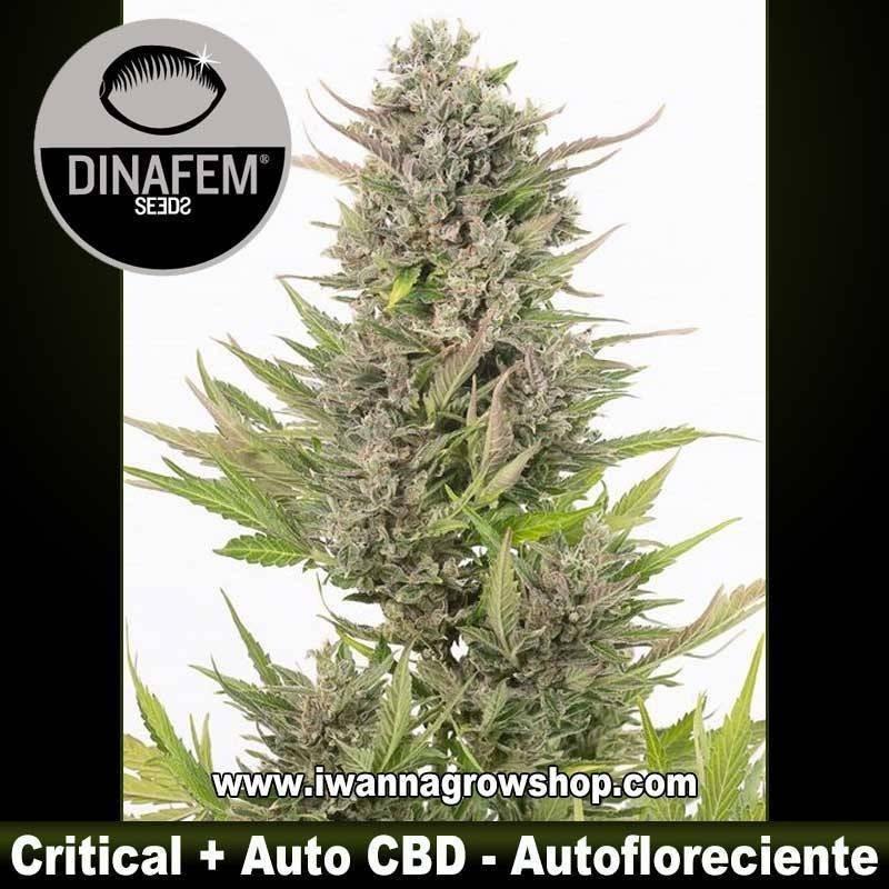 Critical + Auto CBD – Autofloreciente – Dinafem Seeds