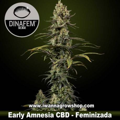 Early Amnesia CBD – Feminizada – Dinafem Seeds