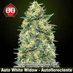 Auto White Widow – Autofloreciente – 00 Seeds