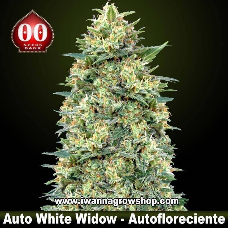 Auto White Widow – Autofloreciente – 00 Seeds
