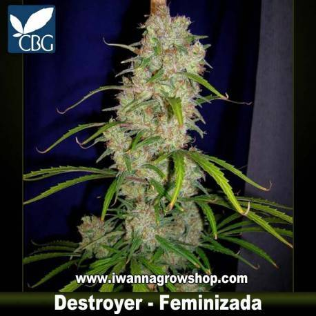 DESTROYER de CANNABIOGEN – semilla feminizada (SATIVA)