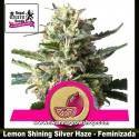 Lemon Shining Silver Haze – Feminizada – Royal Queen