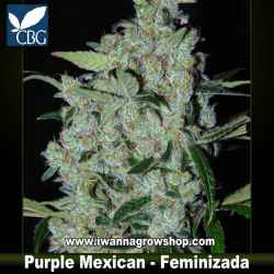 Purple Mexican – Feminizada – Cannabiogen Seeds