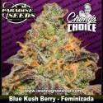 Blue Kush Berry - Feminizada - Paradise Seeds
