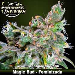 MAGIC BUD de PARADISE SEEDS | Feminizada | Indica-Sativa