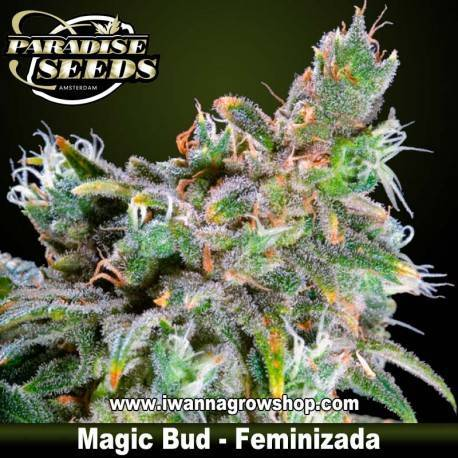 MAGIC BUD de PARADISE SEEDS – semilla feminizada (INDICA-SATIVA)