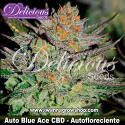 Auto Blue Ace CBD - Autofloreciente - Delicious Seeds
