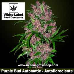 Purple Bud Automatic – Autofloreciente