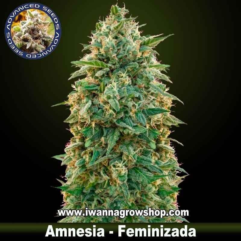Amnesia – Feminizada – Advanced Seeds