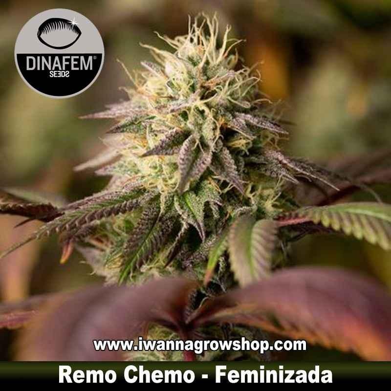 Remo Chemo – Feminizada – Dinafem Seeds