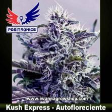 Kush Express – Autofloreciente – Positronics Seeds