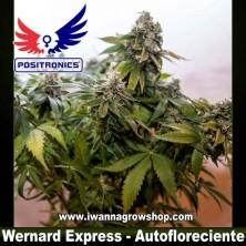 Wernard Express – Autofloreciente – Positronics Seeds