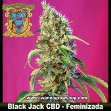 Black Jack CBD