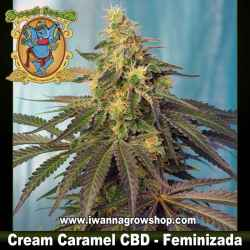 Cream Caramel CBD – Feminizada – Sweet Seeds