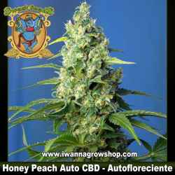 Honey Peach Auto CBD – Autofloreciente – Sweet Seeds