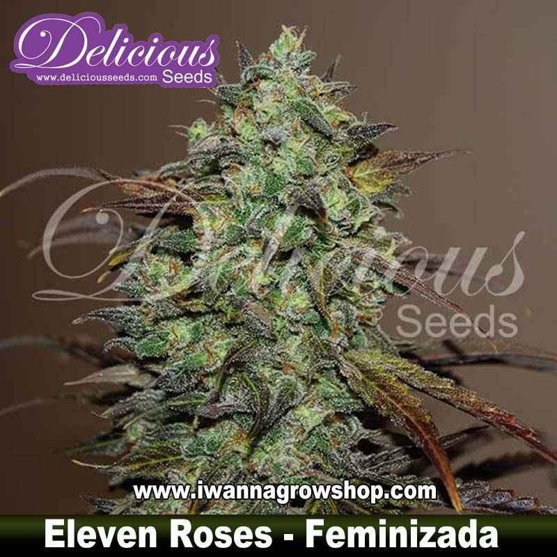 Eleven Roses – Feminizada – Delicious Seeds