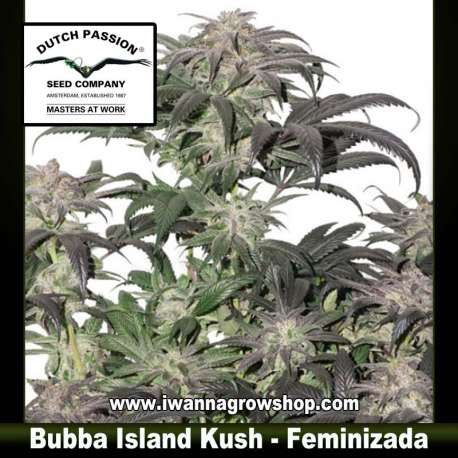 Bubba Island Kush – Feminizada – Dutch Passion