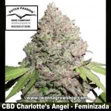 CBD Charlotte´s Angel – Feminizada – Dutch Passion