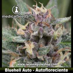 Blue Hell Auto – Autofloreciente – Medical Seeds