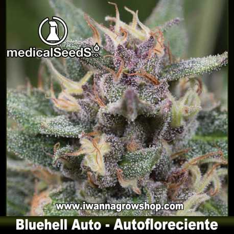Blue Hell Auto – Autofloreciente – Medical Seeds