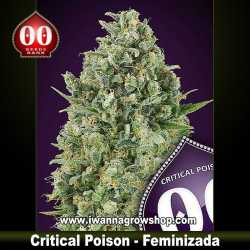 Critical Poison – Feminizada – 00 Seeds