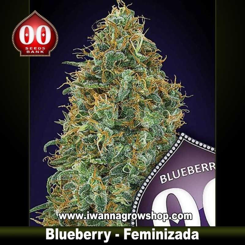 Blueberry – Feminizada – 00 Seeds