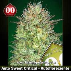 Auto Sweet Critical – Autofloreciente – 00 Seeds