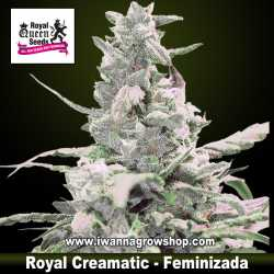 Royal Creamatic – Autofloreciente – Royal Queen