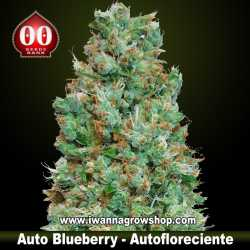 Auto Blueberry – Autofloreciente