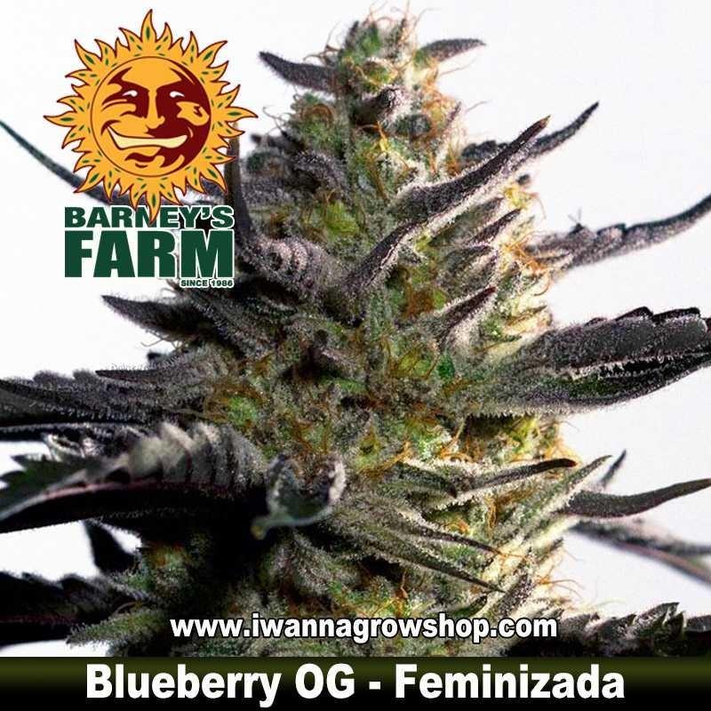 Blueberry OG – Feminizada