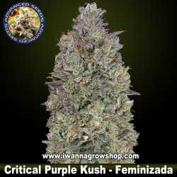 Critical Purple Kush – Feminizada