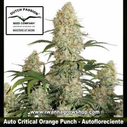Auto Critical Orange Punch – Autofloreciente