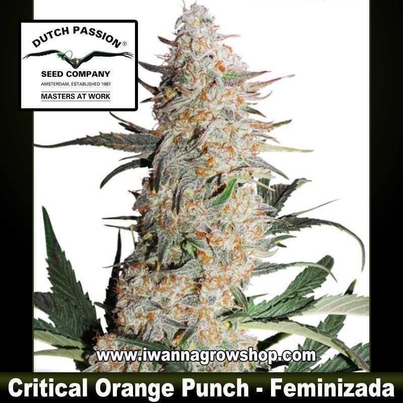 Critical Orange Punch