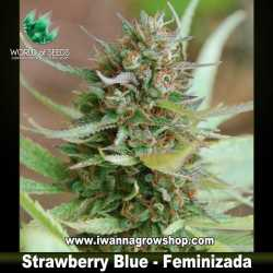 Strawberry Blue – Feminizada