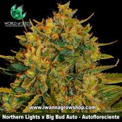 Northern lights x Big Bud Ryder – Autofloreciente