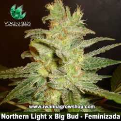 Northern light x Big Bud – Feminizada
