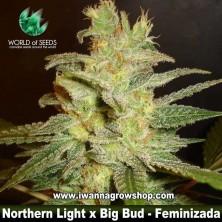 Northern light x Big Bud