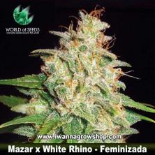 Mazar x White Rhino – Feminizada