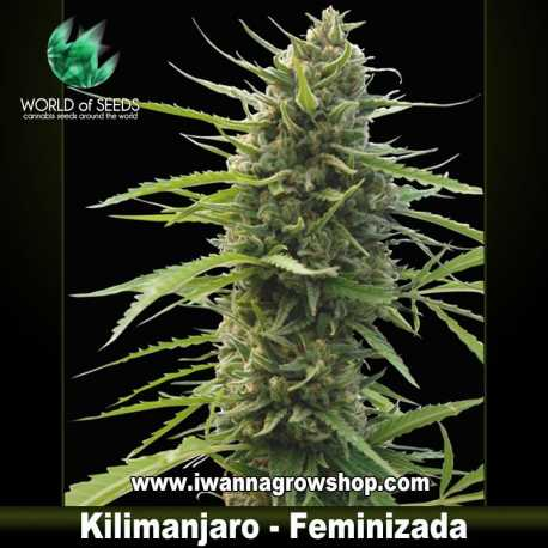 Kilimanjaro – Feminizada