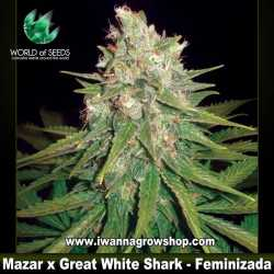 Mazar x Great White Shark – Feminizada