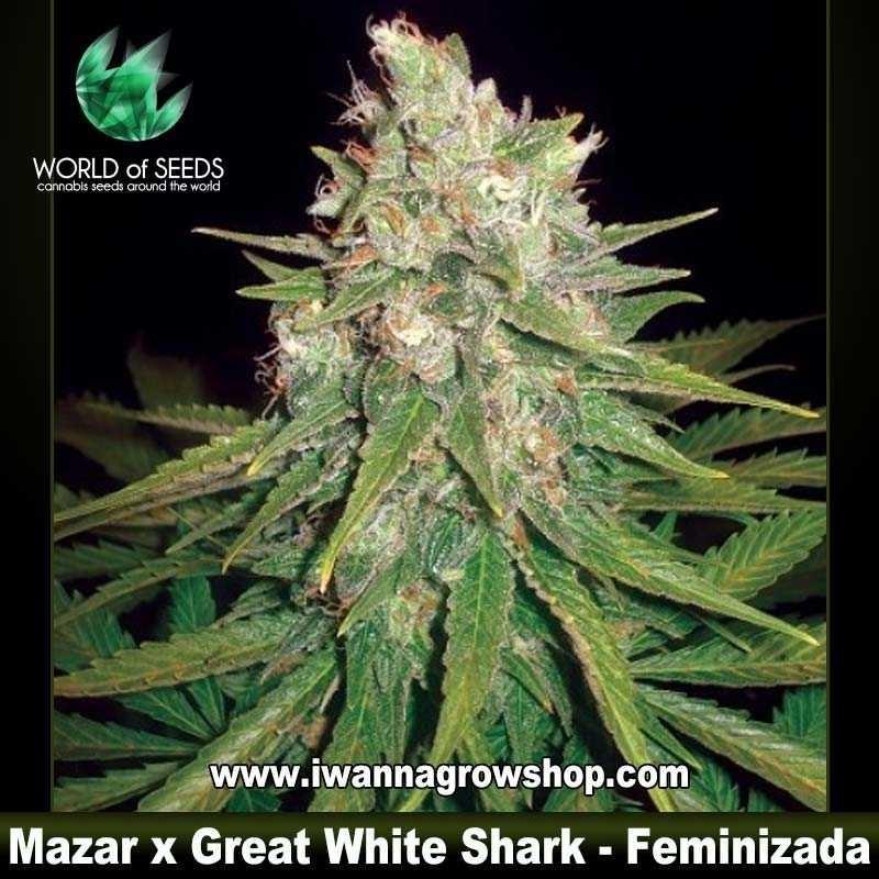 Mazar x Great White Shark