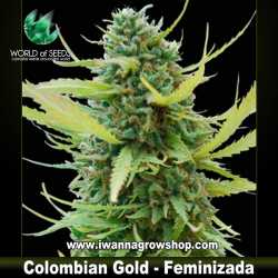 Colombian Gold – Feminizada