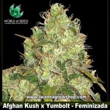 Afghan Kush x Yumbolt – Feminizada