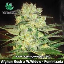 Afghan Kush x White Widow – Feminizada