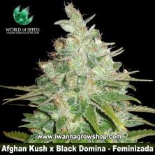 Afghan Kush x Black Domina – Feminizada