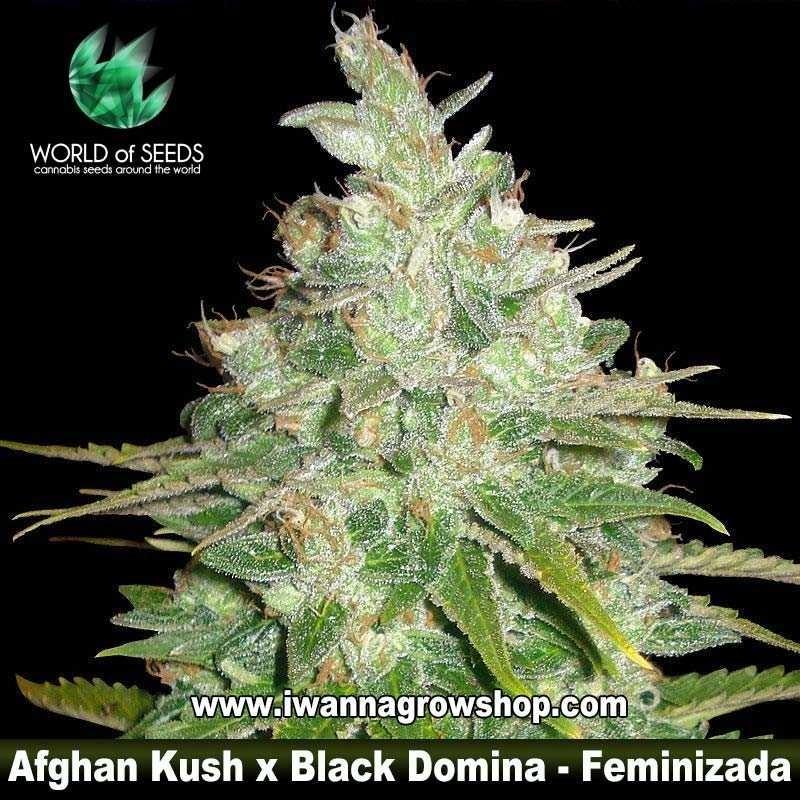 Afghan Kush x Black Domina